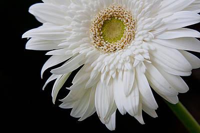 White Gerbera Print by Vanessa Thomas