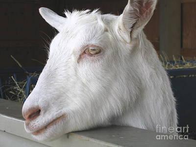 Saanen Goat Relief - White Goat by Ann Horn