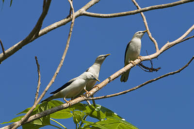 Starlings Photograph - White-headed Starlings Havelock Isl by Konrad Wothe