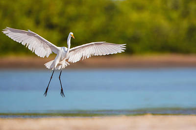 White Heron Landing Graciously Print by Andres Leon