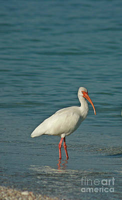 Ibis Photograph - White Ibis by Cindi Ressler