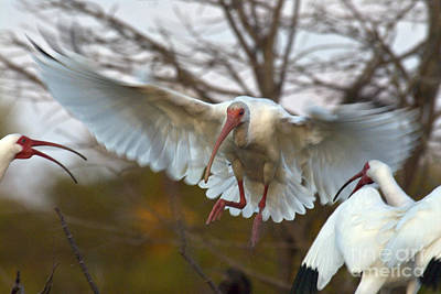 White Ibis Print by Mark Newman