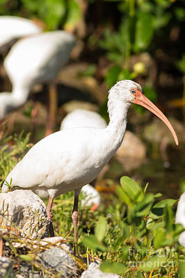 White Ibis On The Hunt Print by Natural Focal Point Photography