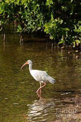 White Ibis On The Water Print by Natural Focal Point Photography