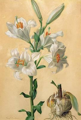 White Lily Print by Carl Franz Gruber