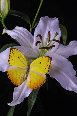 White Lily With Yellow Butterfly Print by Garry Gay