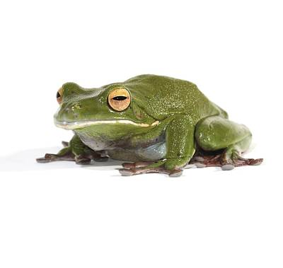 White-lipped Tree Frog Print by Science Photo Library