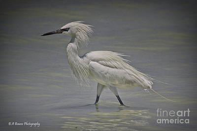 White Morph Reddish Egret Original by Barbara Bowen