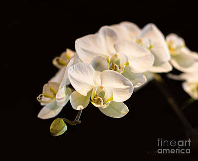 Flower Photograph - White Orchid Branch And Bud by Barbara McMahon