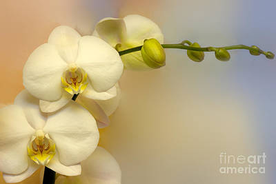 White Flower Photograph - White Orchid by Lutz Baar