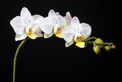 Nature Study Photograph - White Orchids by Adam Romanowicz
