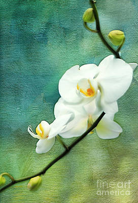 White Orchids Print by Darren Fisher