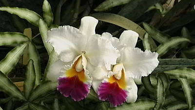 Orchids Photograph - White Orchids by Donna Walsh