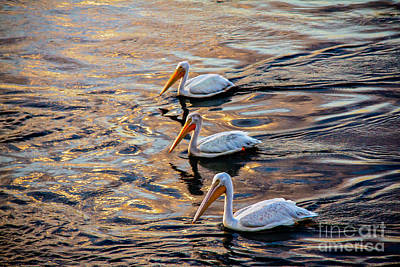 White Pelicans  In Golden Water Print by Robert Bales