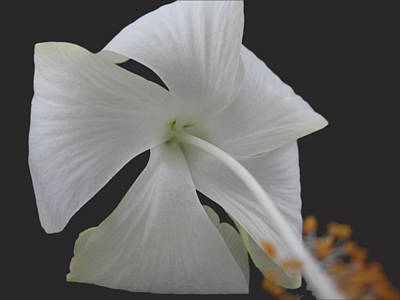 White Petals Print by Rohit Jadav