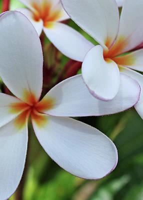 White Plumeria Print by Kathy Yates