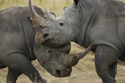 Rhinoceros Photograph - White Rhino Males Fighting Solio Game by Hiroya Minakuchi