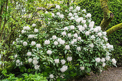 Spring Photograph - White Rhododendron In Spring by Priya Ghose