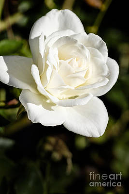 White Rose Photograph - White Rose 2 by Brian Luke