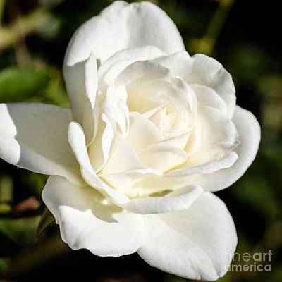 White Rose Photograph - White Rose 3 by Brian Luke