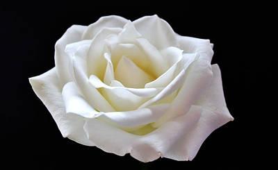 White Rose Print by Catherine Davies