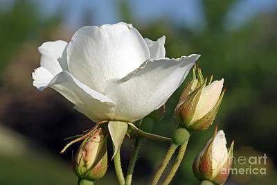 Rose Photograph - White Rose by George Atsametakis