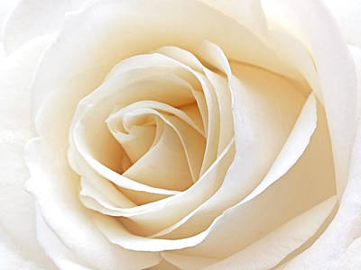 Ivory Rose Photograph - White Rose Heart by Gill Billington