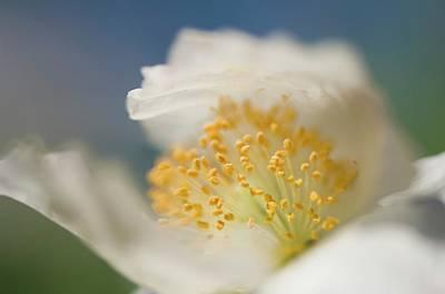 Shirley Photograph - White Shirley Poppy by Maria Mosolova