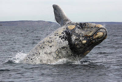 Valdes Photograph - White Southern Right Whale Breaching by Hiroya  Minakuchi