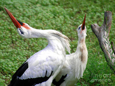 Stork Mixed Media - White Stork In Bonding Ritual Pose by Optical Playground By MP Ray