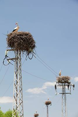 Good Luck Photograph - White Storks Nesting by Ashley Cooper