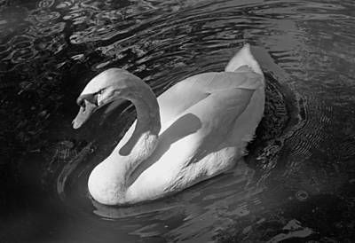 White Swan In Black And White Original by Suzanne Gaff
