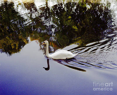 Photograph - Nature Reborn. White Swan Solitary In Colour  Imagery by Richard Morris