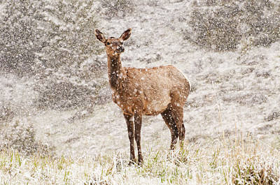 Snow Photograph - White Tailed Deer In Snow by Donna Doherty