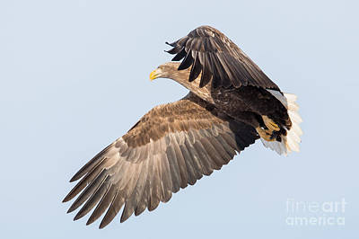 Hawk Photograph - White-tailed Sea Eagle Hovering by Natural Focal Point Photography