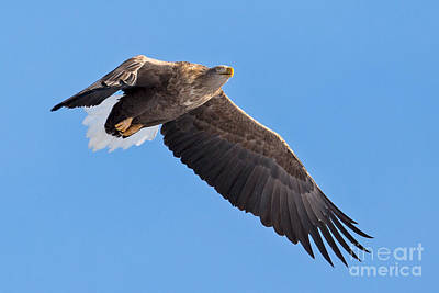 Hawk Photograph - White-tailed Sea Eagle Soars by Natural Focal Point Photography