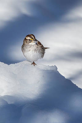 Sparrow Photograph - White Throated Sparrow by Bill Wakeley