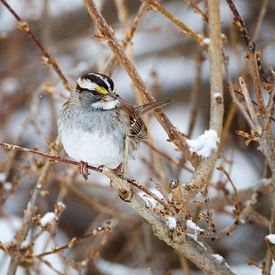 Sparrow Photograph - White Throated Sparrow Portrait Square by Bill Wakeley