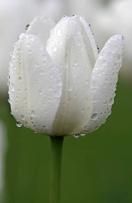 Tulpe Photograph - White Tulip by Juergen Roth