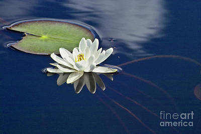 Waterlilies Photograph - White Water Lily by Heiko Koehrer-Wagner