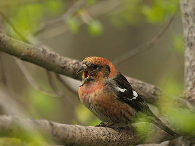 Crossbill Photograph - White-winged Crossbill by James Peterson