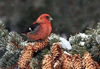 Crossbill Photograph - White-winged Crossbill by Nick  Saunders