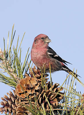 Crossbill Photograph - White-winged Crossbill On Pine by Allan Rube
