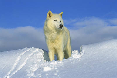 Arctic Wolf Photograph - White Wolf In The Snow Idaho by Tom Vezo