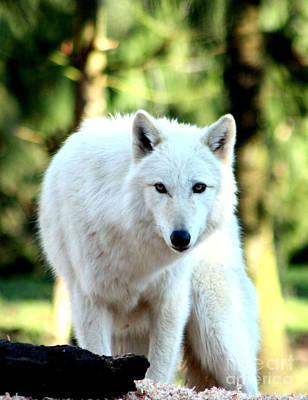 Arctic Wolf Photograph - White Wolf by Nick Gustafson