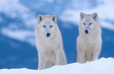 White Wolf Pair In Winter Print by Alan and Sandy Carey