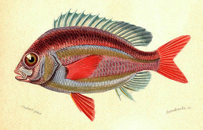 Whitecheek Monocle Bream Print by Collection Abecasis