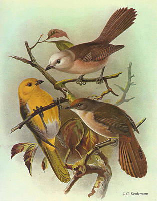 Whitehead Yellowhead And Brown Creeper Print by J G Keulemans