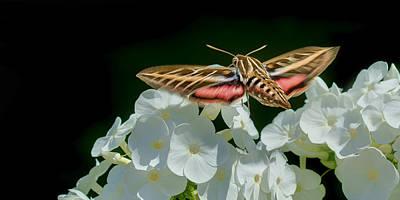 Whitelined Sphinx Moth - Hawk-moth - Hummingbird Moth Print by Nikolyn McDonald