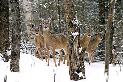 Whitetail Deer Odocoileus Virginianus Print by Gregory K Scott